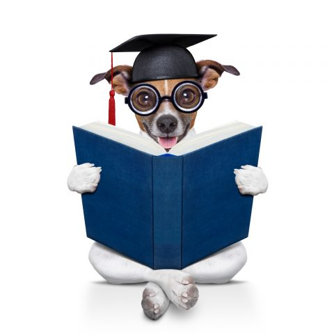 jack russell  graduated diploma dog sitting reading a big book, isolated on white background